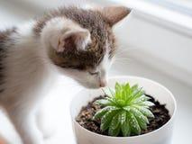 Le chaton rayé domestique joue avec un pot succulent photos stock