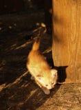 Le chaton roux Photographie stock