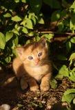 Le chaton roux photo libre de droits