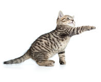 Le chaton tigré écossais cesse de la patte et de regarder images libres de droits