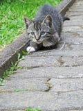 Le chaton tobby femelle dispose à sauter tout en jouant avec une lame d'herbe sèche images libres de droits