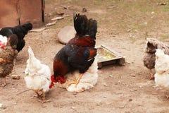 Le chef à une ferme parmi des poulets Image libre de droits