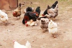 Le chef à une ferme parmi des poulets Photos stock