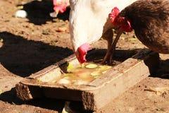 Le chef à une ferme parmi des poulets Photographie stock libre de droits