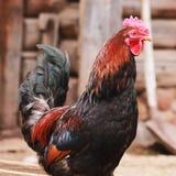 Le chef à une ferme parmi des poulets Images stock