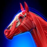 Le chef de cheval Muscles - anatomie d'Equus de cheval - sur le fond bleu illustration libre de droits