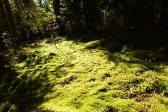 Le chemin du soleil d'automne sur la couverture végétale de forêt de la mousse Image stock
