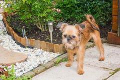 Le cher griffon de Brusselse de chiot pose pour l'appareil-photo dans le jardin Photo stock