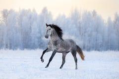 Le cheval andalou galope en hiver photos stock