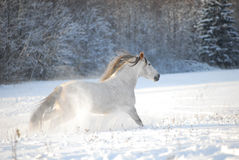 Le cheval andalou gris galope à travers la neige Photo stock