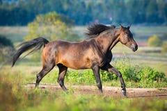 Le cheval Arabe galope à travers le champ Photographie stock