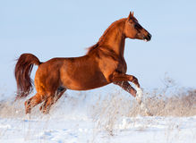 Le cheval Arabe galope pendant l'hiver. Images stock
