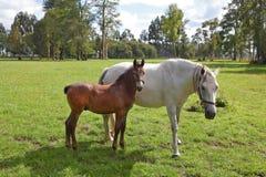 Le cheval avec le poulain Photos libres de droits