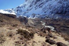 Le cheval blanc dans les montagnes du Népal Photographie stock