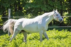 Le cheval blanc drôle de Hanoverian dans le frein ou filet sur le pâturage ou la prairie avec le fond vert des arbres une herbe images stock