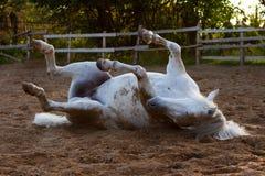 Le cheval blanc est tombé Photographie stock