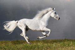 Le cheval blanc fonctionne sur le fond foncé de ciel Photos libres de droits