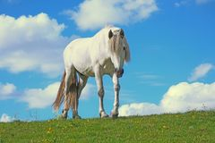 Le cheval blanc image stock
