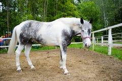 Le cheval blanc tachettent dedans l'emballage gris de pur sang Photographie stock libre de droits