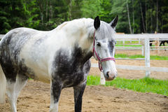 Le cheval blanc tachettent dedans le gris Photographie stock libre de droits