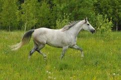 Le cheval blanc trotte sur le pré Photo libre de droits