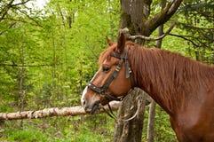 Le cheval brun image stock