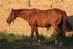 Le cheval dans l'alimentation l'herbe et chauffe au soleil Photos stock