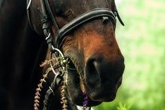 Le cheval de baie mange les fleurs sages Photo libre de droits