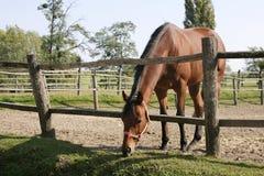 Le cheval de baie se tient dans le corral d'été Photographie stock libre de droits