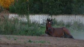 Le cheval de Brown roulant plus de soutiennent dans la poussière banque de vidéos