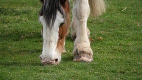 Le cheval de Clydesdale mâche sur l'herbe clips vidéos