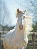 Le cheval de lusitano de perlino avec le fond de ciel bleu Photos libres de droits