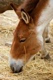 Le cheval de Przewalski Photos libres de droits