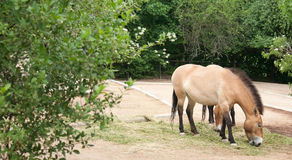 Le cheval de Przewalski Photographie stock libre de droits