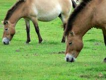 Le cheval de Przewalski, aussi Takhi, cheval sauvage asiatique ou cheval sauvage mongol appelé, est la seule sous-espèce du cheva Photos stock