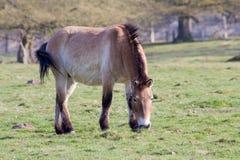 Le cheval de Przewalski, aussi Takhi, cheval sauvage asiatique ou cheval sauvage mongol appelé, est la seule sous-espèce du cheva Photographie stock libre de droits