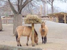 Le cheval de Przewalski dans le zoo de Kyiv, Ukraine Images libres de droits