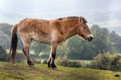 Le cheval de Przewalski (ferus d'Equus) photo libre de droits