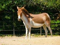 Le cheval de Przewalski (przewalskii d'Equus) Photographie stock