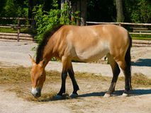 Le cheval de Przewalski (przewalskii d'Equus) Photo libre de droits