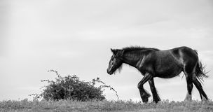 Le cheval de Shire marche lourdement vers Bush en noir et blanc Photos stock