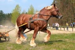 Le cheval de trait - l'effort soudain - concours photographie stock libre de droits