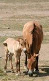 Le cheval et le poulain de Przewalski Photos libres de droits