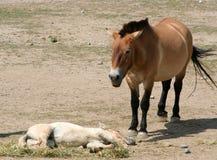 Le cheval et le poulain de Przewalski Photo stock