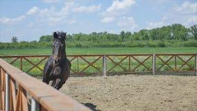 Le cheval fonctionnant dans l'arène au mouvement lent d'heure d'été banque de vidéos