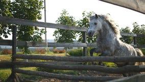 Le cheval fonctionne sur le sable et saute par une barrière Formation du petit poney blanc le mouvement lent, se ferment  banque de vidéos