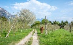 Le cheval frôle dans un verger au printemps Photos stock