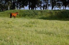 Le cheval frôle sur un pré vert Photographie stock