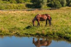 Le cheval frôlent l'étang de pré Photographie stock libre de droits