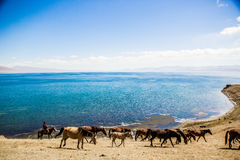 Le cheval frôlent le long du lac Photographie stock